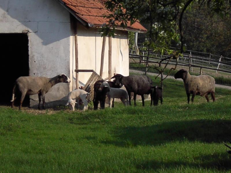Schafe auf dem Hasenhof
